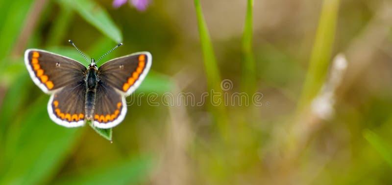 Männlicher brauner Argus-Schmetterling stockbild
