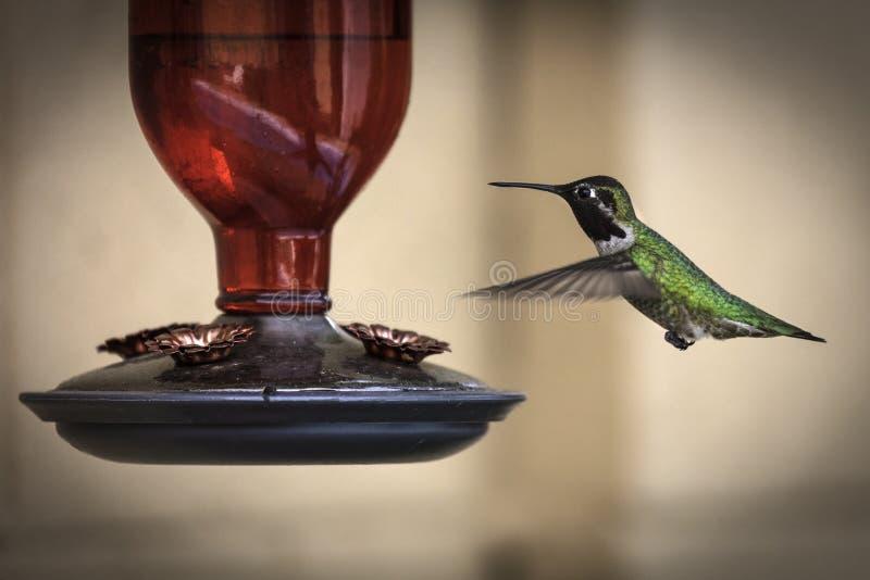 Männlicher breiter angebundener Kolibri fotografiert an einer Zufuhr lizenzfreie stockfotografie