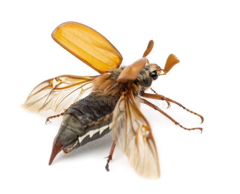 Männlicher Cockchafer, Melolontha Melolontha, fliegend stockbild