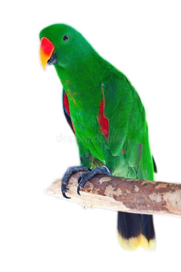 Männlicher eclectus Papagei stockfoto