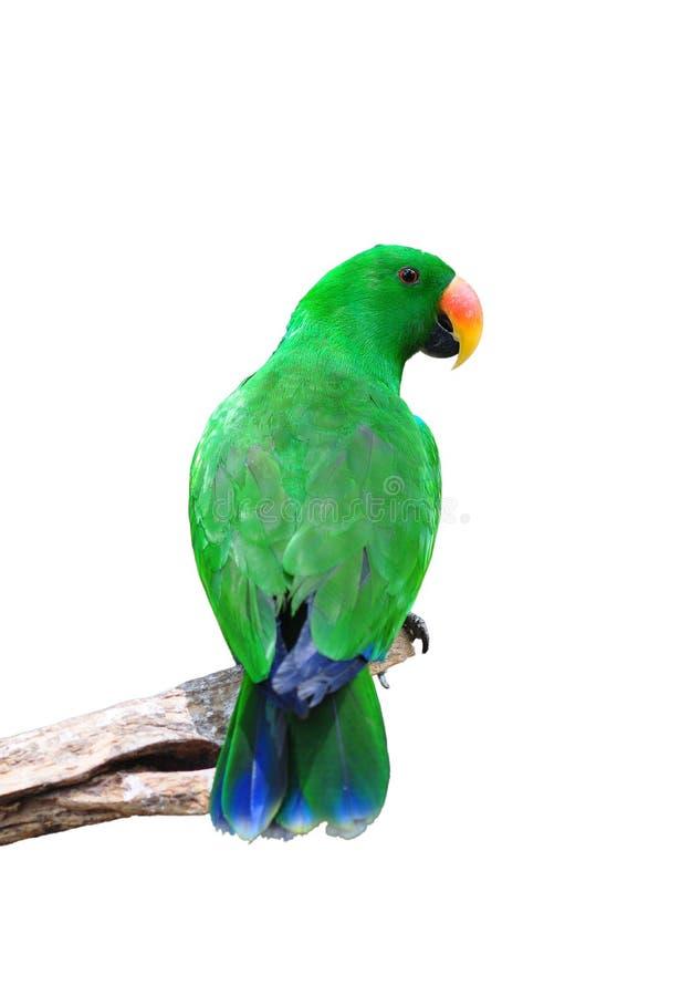 Männlicher eclectus Papagei lizenzfreie stockbilder