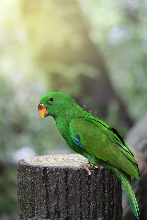 Männlicher Eclectus-Papagei, altern drei Monate im Naturpark lizenzfreie stockfotografie