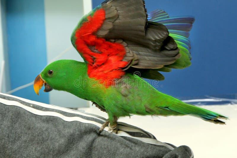 Männlicher Eclectus-Papagei, altern fünf Monate Die Vogelausdehnungsflügel lizenzfreies stockbild