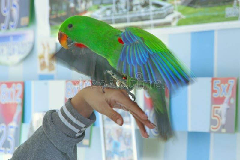 Männlicher Eclectus-Papagei, altern fünf Monate Die Vogelausdehnungsflügel stockbild