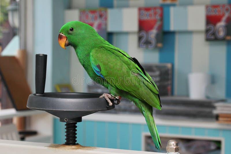 Männlicher Eclectus-Papagei, altern zwei Monate stockfotografie