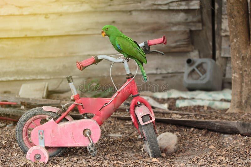 Männlicher Eclectus-Papagei hockte auf den alten Fahrradkindern stockfoto