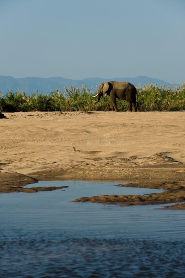 Männlicher Elefant lizenzfreies stockfoto
