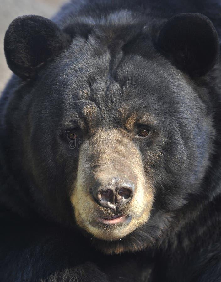 Männlicher erwachsener amerikanischer schwarzer Bär, Kalifornien stockfotografie