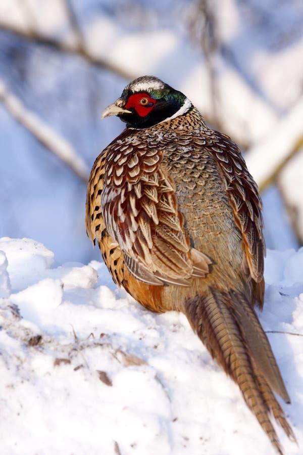 Männlicher Fasan auf dem Schnee. lizenzfreie stockfotos