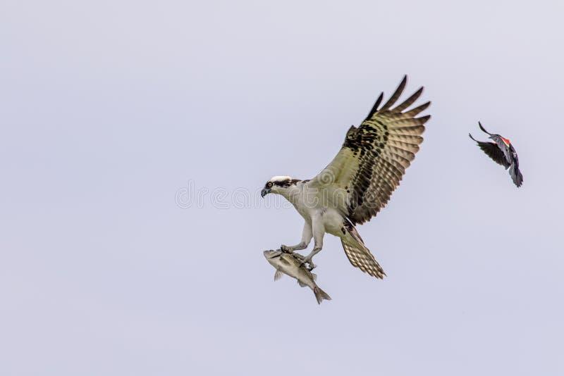 Männlicher Fischadler, der durch eine rotgeflügelte Amsel gejagt wird lizenzfreies stockfoto