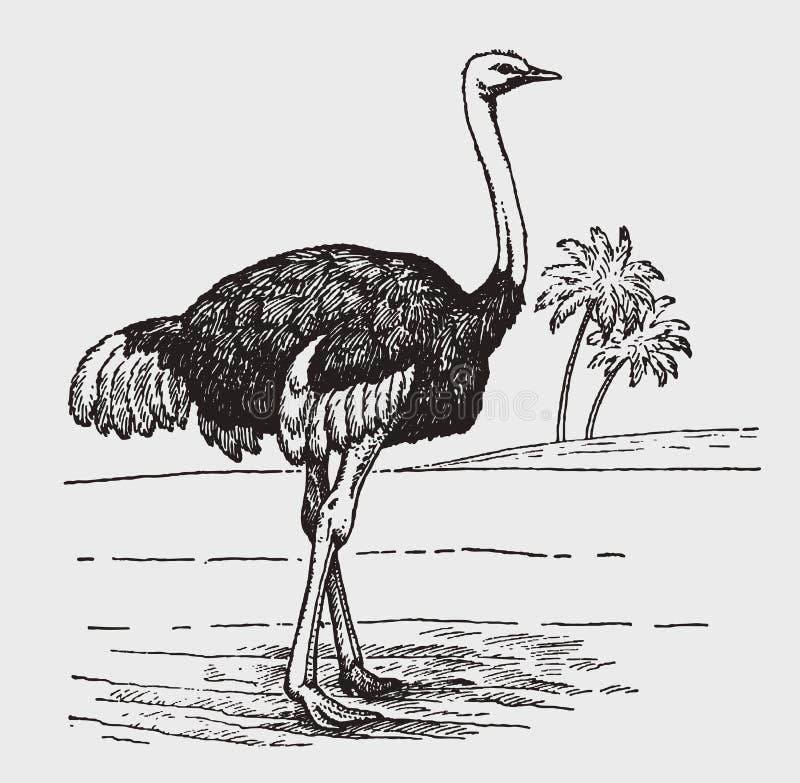 Männlicher gemeiner Strauß Struthio Camelus in der Seitenansichtstellung in einer afrikanischen Landschaft vektor abbildung