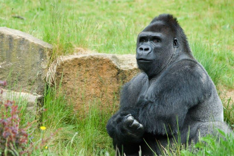 Männlicher Gorilla stockbild