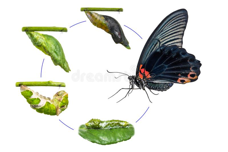 Männlicher großer Mormone Papilio-memnon Schmetterlings-Lebenszyklus stockbild