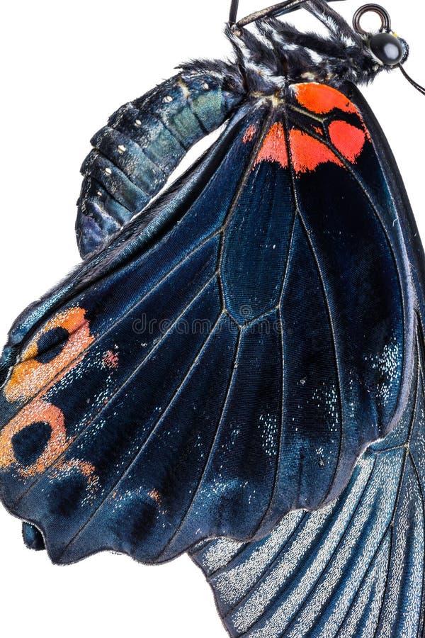 Männlicher großer Mormone Papilio-memnon Schmetterlingsflügel lizenzfreie stockfotografie