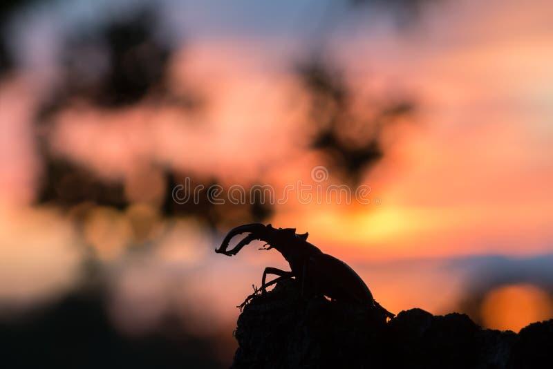 Männlicher Hirschkäfer, Lucanus-Cervus, Sonnenuntergang im Hintergrund lizenzfreie stockfotos