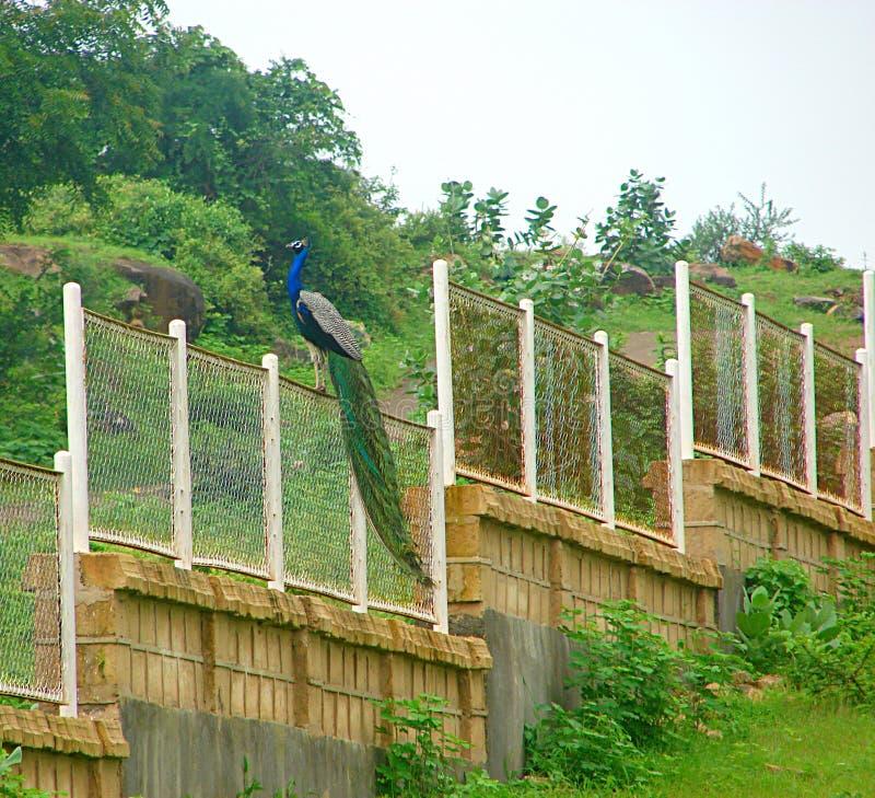 Männlicher indischer Peafowl - gemeiner Pfau - sitzend auf einem Zaun lizenzfreie stockbilder