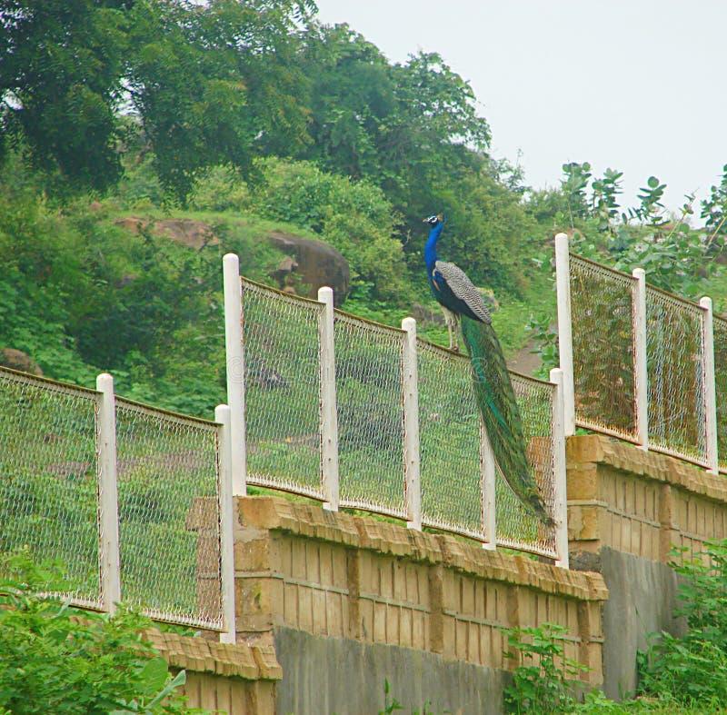 Männlicher indischer Peafowl - gemeiner Pfau - sitzend auf einem Zaun stockbilder