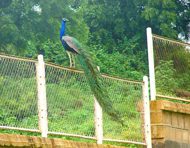 Männlicher indischer Peafowl - gemeiner Pfau - sitzend auf einem Zaun stockfotos