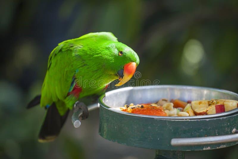 Männlicher Indonesier Eclectus-Papagei lizenzfreies stockfoto