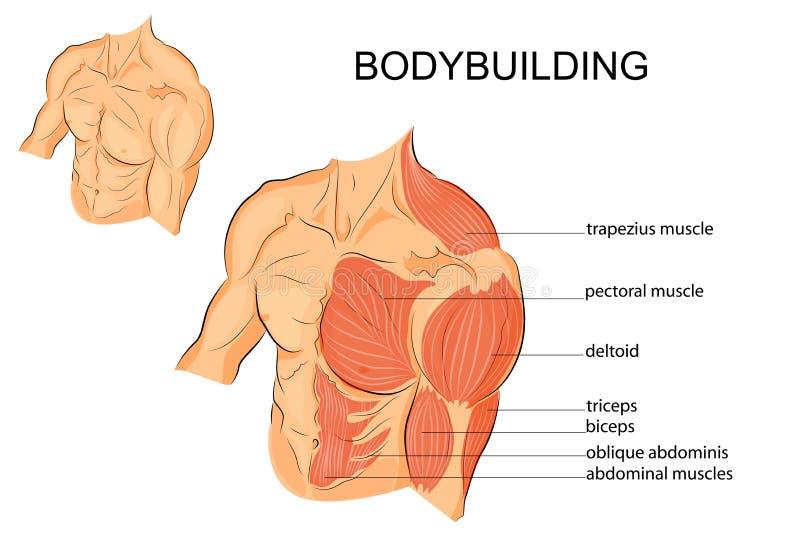 Männlicher Körper bewaffnet Schultern Kasten und ABS vektor abbildung