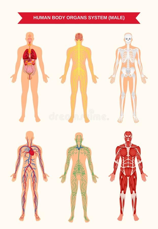 Männlicher Körper-Organ-System-Plakat Vektor Abbildung ...