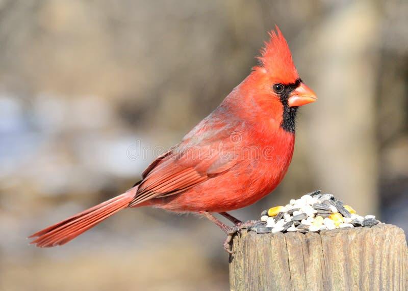 Männlicher Kardinal stockfotos