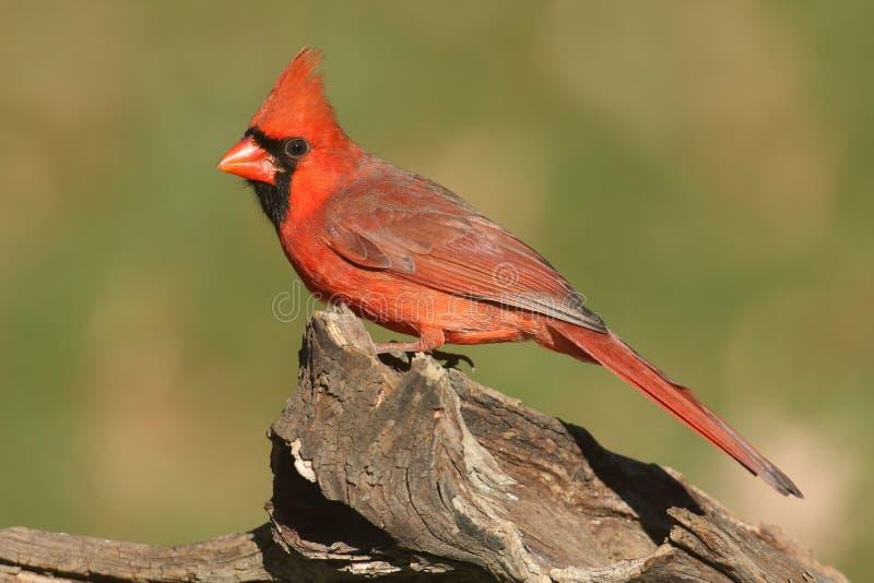 Männlicher Kardinal auf einem Protokoll stockfotografie