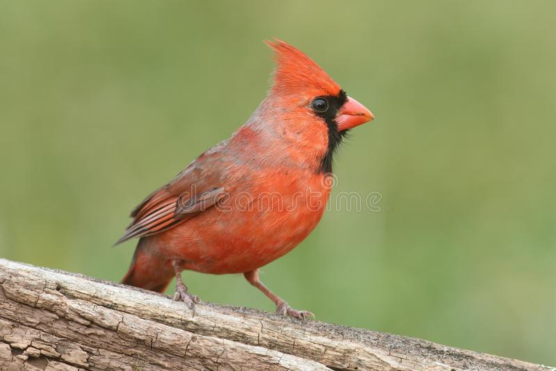 Männlicher Kardinal auf einem Protokoll stockfotos
