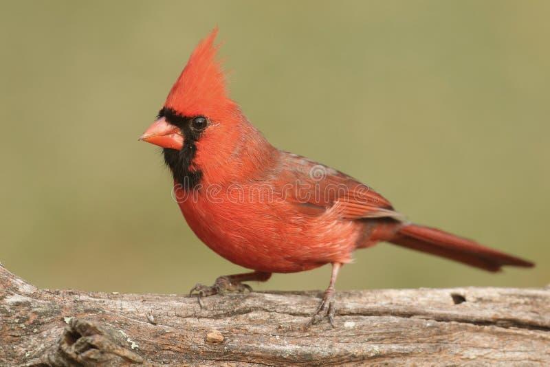 Männlicher Kardinal auf einem Protokoll lizenzfreie stockbilder