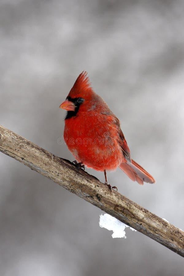 Männlicher Kardinal auf einem Zweig lizenzfreie stockfotografie