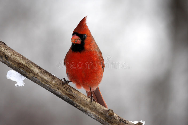 Männlicher Kardinal auf einem Zweig stockfotos