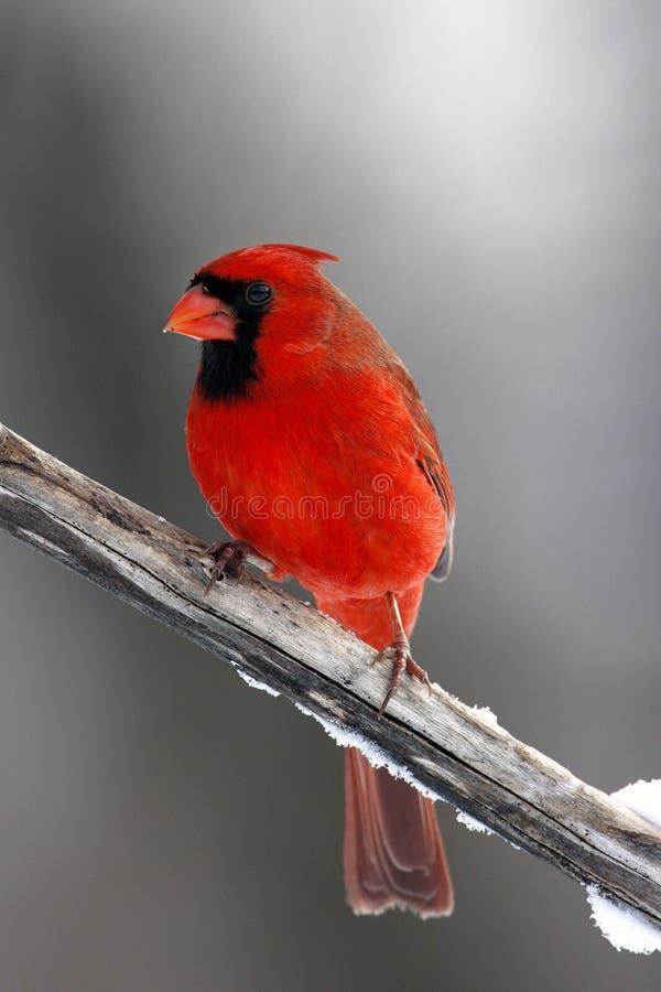 Männlicher Kardinal auf einem Zweig stockbilder