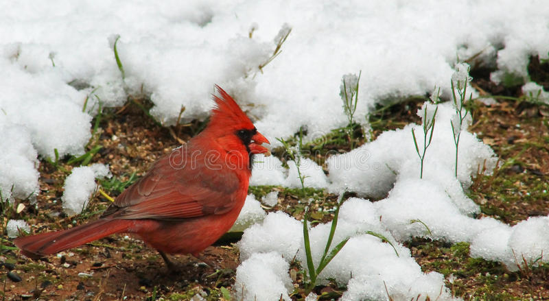 Männlicher Kardinal im Schnee lizenzfreie stockbilder