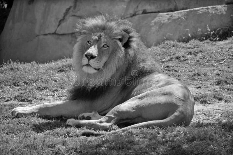 Männlicher Löwe lizenzfreies stockbild
