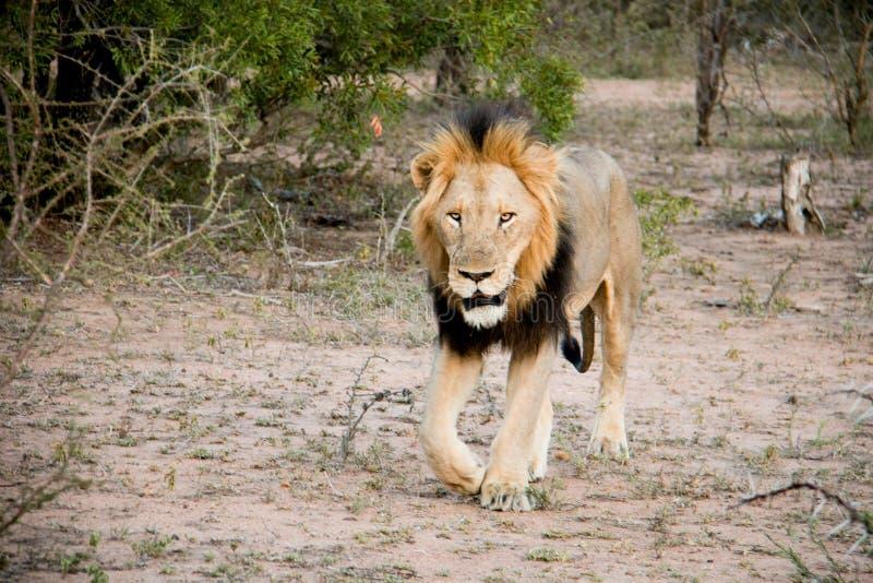 Männlicher Löwe auf dem Prowl stockfotografie