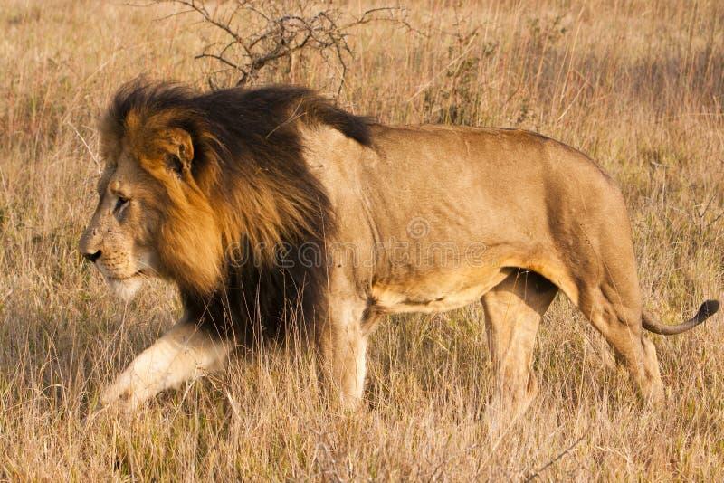 Männlicher Löwe in Bewegung lizenzfreie stockbilder