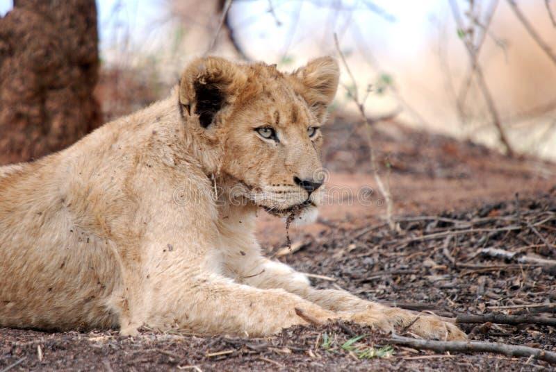 Männlicher Löwe Cub lizenzfreie stockbilder