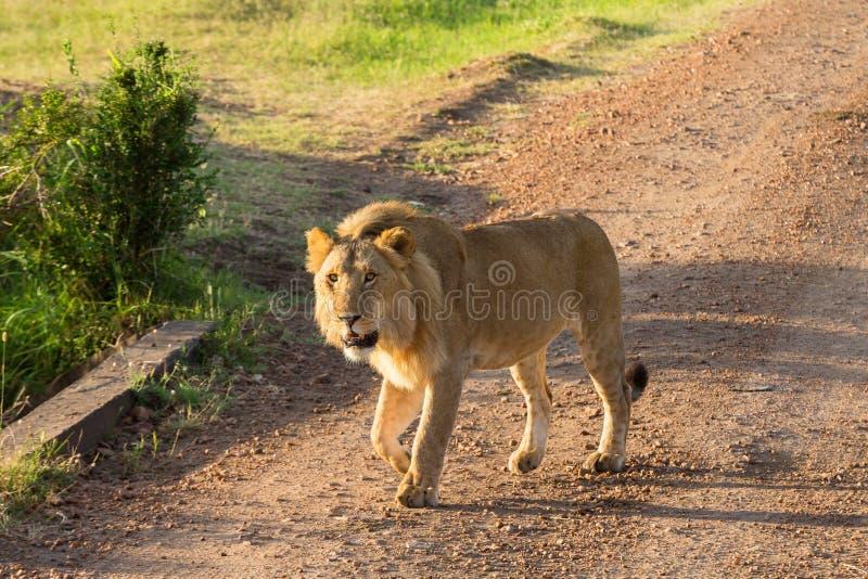 Männlicher Löwe, der auf einen Schotterweg geht stockfotografie