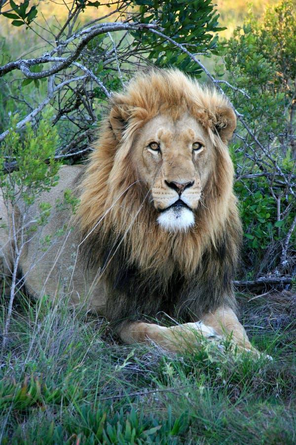 Männlicher Löwe, der auf Gras liegt stockfoto