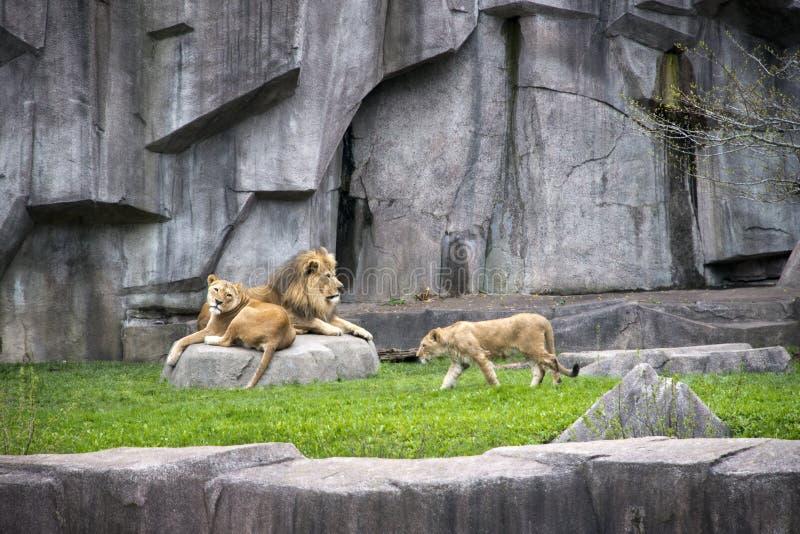 Männlicher Löwe, Löwin, Cub-wild lebende Tiere, moderner Zoo-Rahmen stockbild