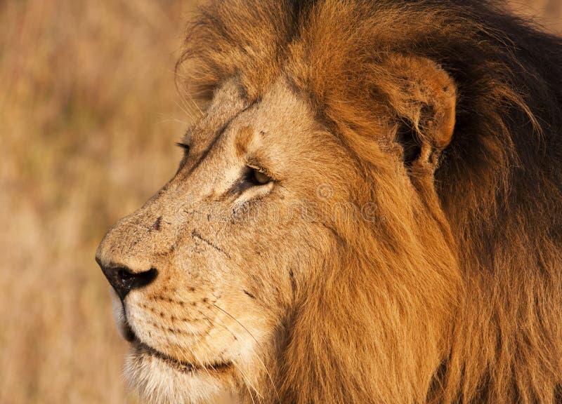 Männlicher Löwe mit Narbe-Nahaufnahme stockbilder