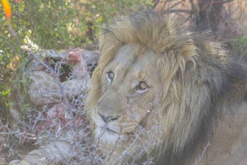 Männlicher Löwe nahe seinem Opfer stockbild