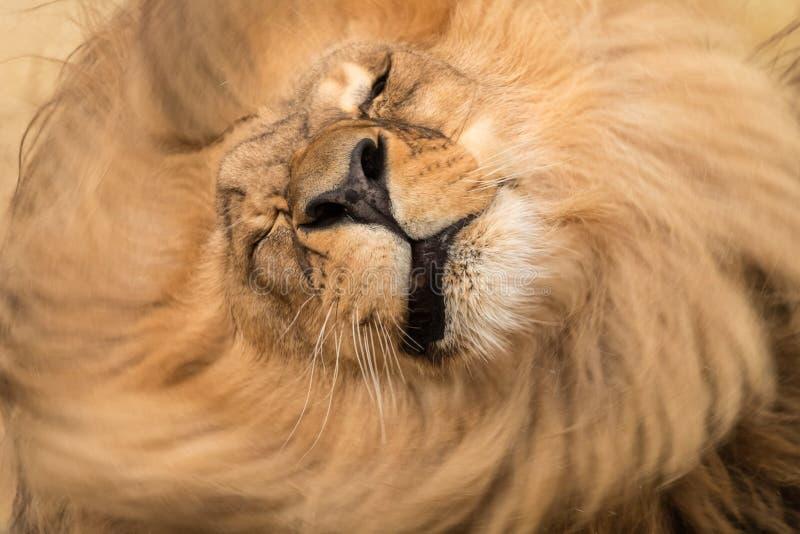 Männlicher Löwe rüttelt rauhaarige Mähne stockbilder