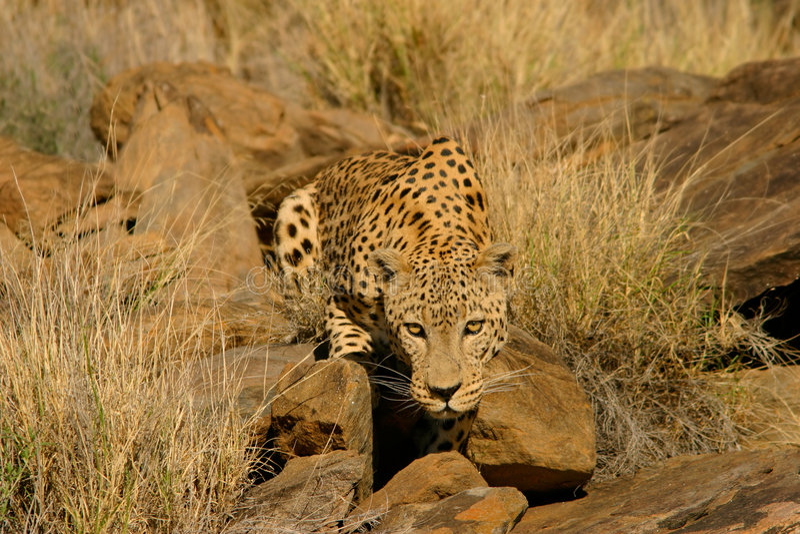 Männlicher Leopard stockfoto