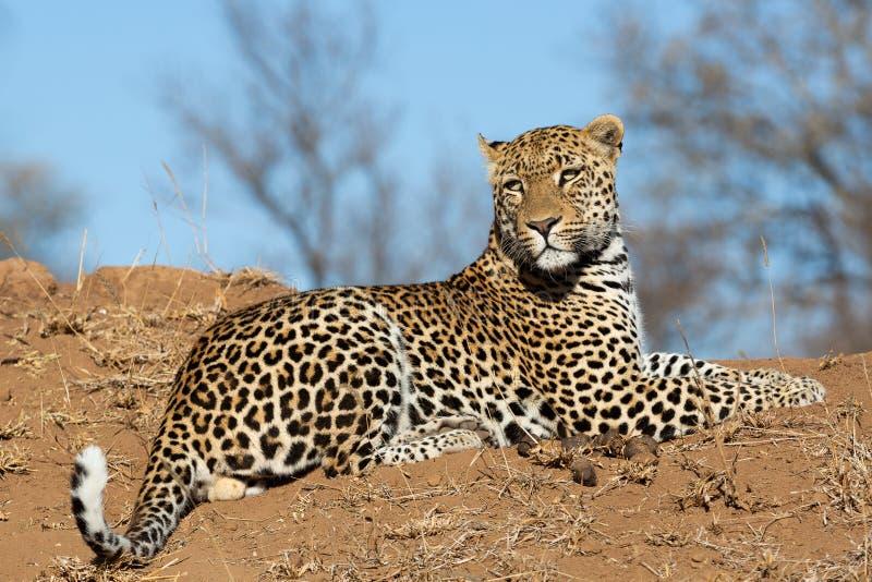 Männlicher Leopard auf einem Hügel stockbild