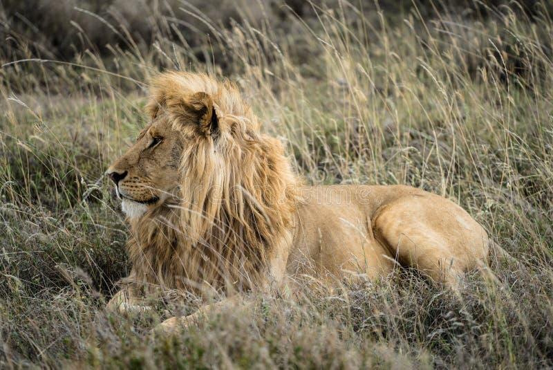 Männlicher Lion Profile lizenzfreie stockbilder