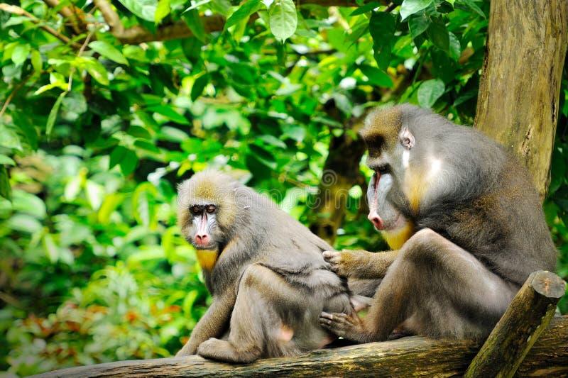 Männlicher Mandrill (Mandrillussphinx) in Singapur-Zoo lizenzfreie stockfotografie