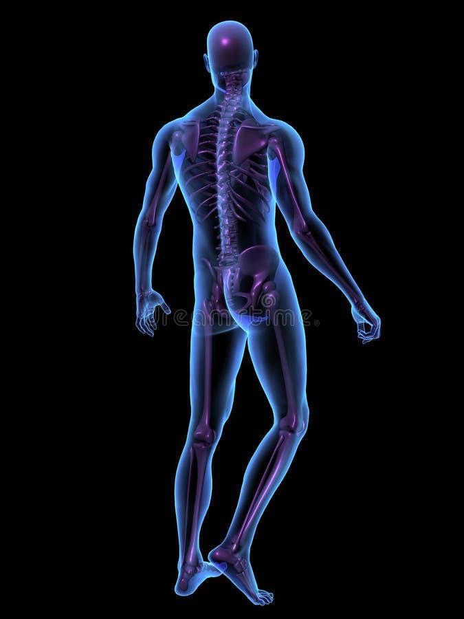 Männlicher menschlicher Körper und Skelett der Röntgenstrahlabbildung vektor abbildung
