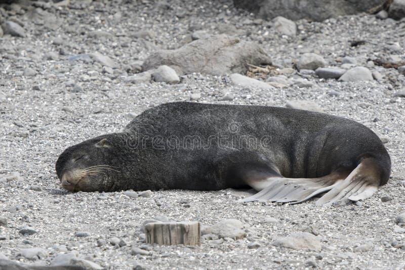 Männlicher Nördlicher Seebär, der auf der Küste liegt stockfotografie