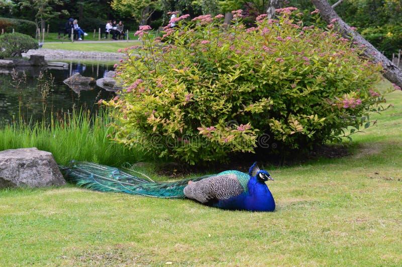Männlicher Pfau, der in das Gras legt stockfoto